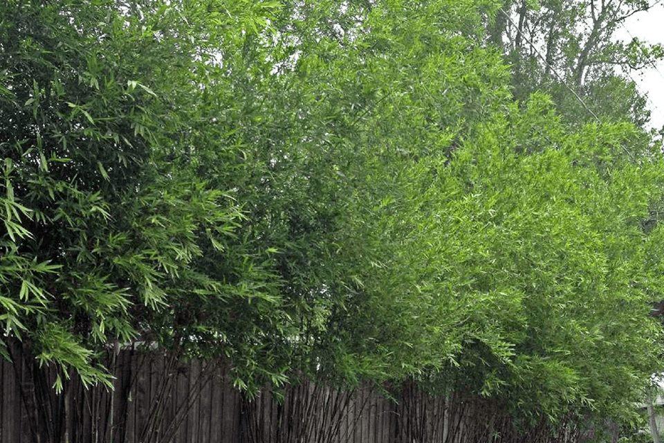 Bambusa malingensis plants growing along a fence