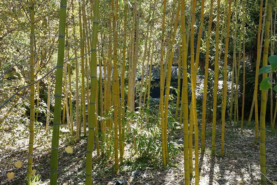 Thin yellow culms of the Golden Vivax sun-loving bamboo