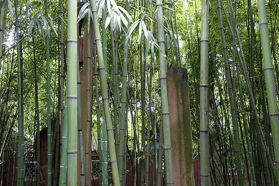 Tall stems of Phyllostachys angusta