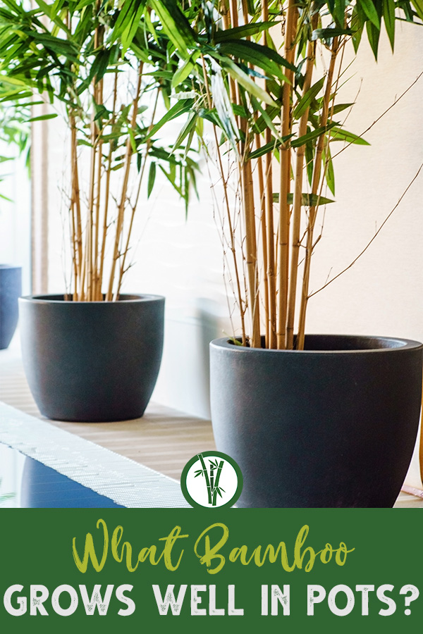 two tiny bamboo plants in two pots next to each other with the text: What Bamboo Grows Well in Pots?