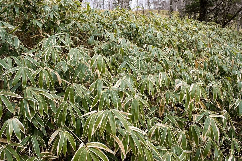 Sasa veitchii bamboo hardy plant portraits green white edged edges