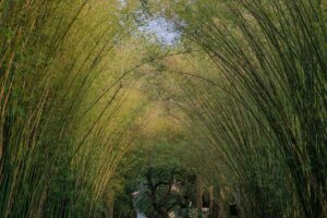 Nature landscape view of a bamboo tunnel with natural light