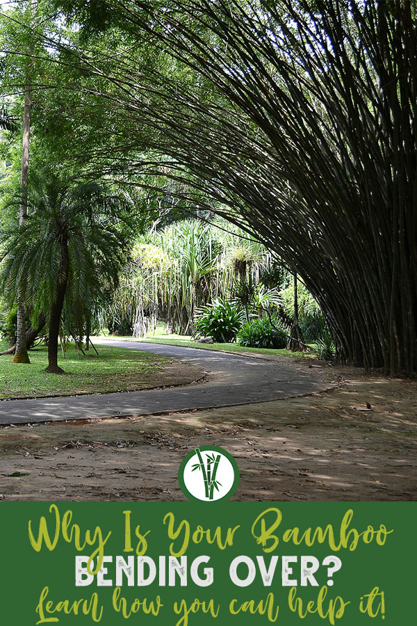 Drooping bamboo in a garden with the text: Why is your bamboo bending over? Learn how you can help it!